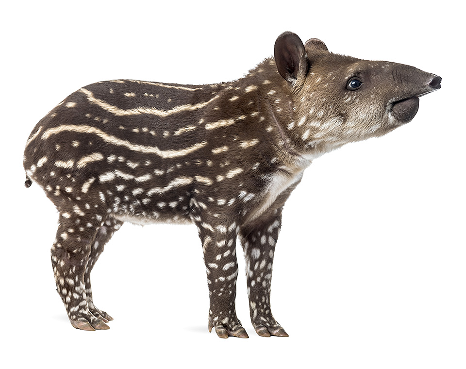 1 attack by tapir