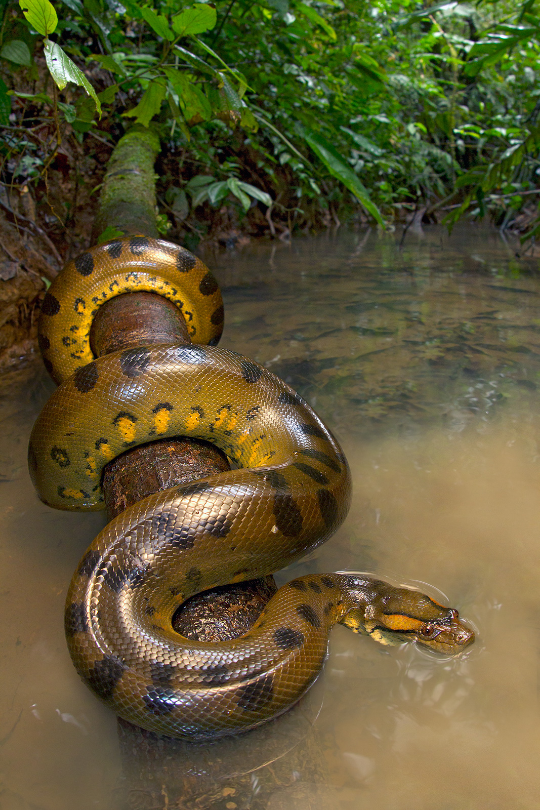 Amazon river animals anaconda